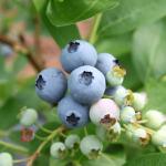 満月摘みの大粒ブルーベリー