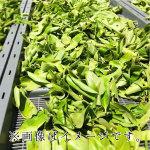 摘み立ての柿の葉